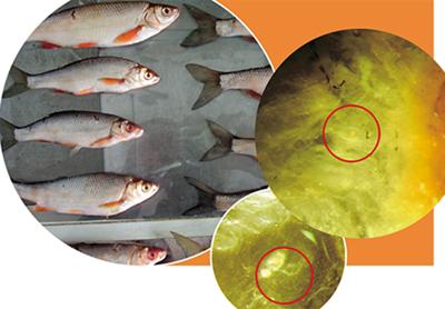 рыба описторхоз фото