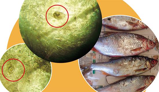 плотва описторхи рыба