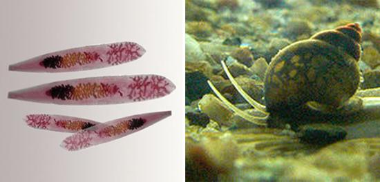 Opisthorchis felineus сибирская двуустка фото