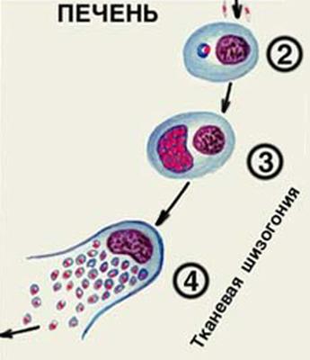 малярийный плазмодий развитие