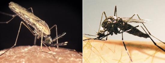 малярийный и немалярийный комар