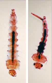 личинки комаров малярийных