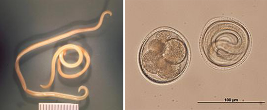 токсокары фото яйца личинки