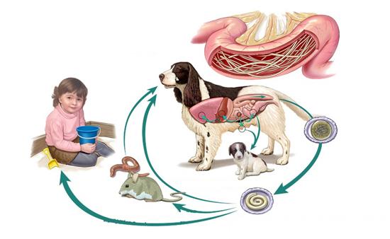 цикл токсокар эпидемиология