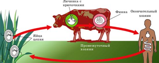 цикл тениаринхоза