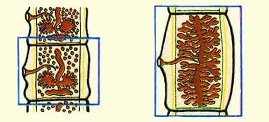 органы размножения бычьего цепня
