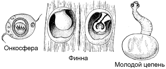 развитие Taenia saginata