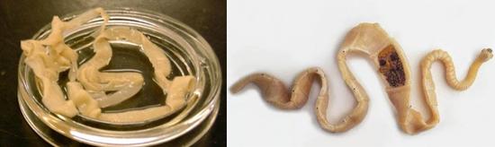 ленточный червь фото