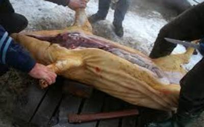 гельминтоз забой свиней