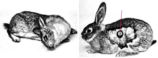 листериоз у кролика