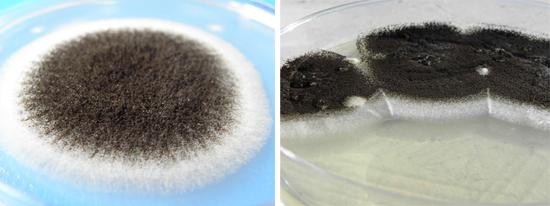 На рисунке видны колонии аспергилла черного цвета