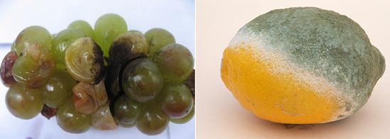 В качестве питания для грибков подходят различные фрукты