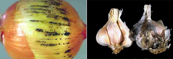 аспергиллы хорошо разводятся на различных овощах.