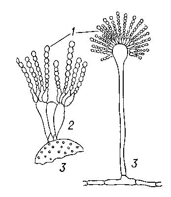 Aspergillum имеет характерное для грибков строение