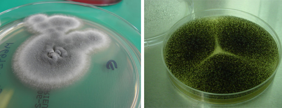 Культура Aspergillus хорошо выращивается в лабораторных условиях