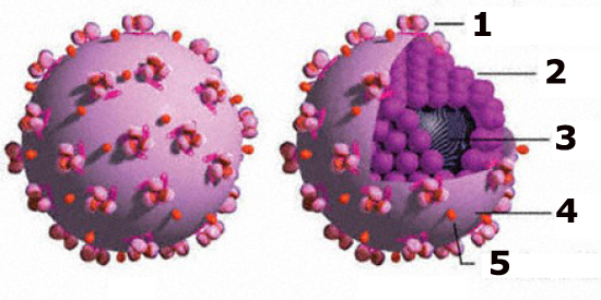 HGV вирус