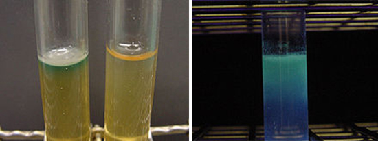 пиоцианин бактерии синегнойная палочка анализ