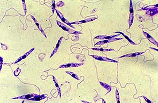 Возбудители лейманиоза под микроскопом