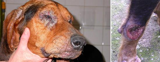Leishmania поражает как людей, так и собак