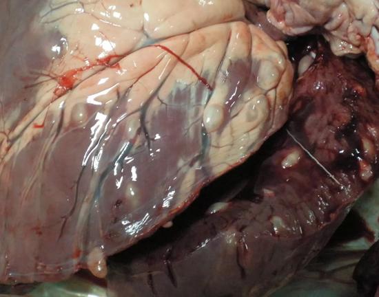 мясо, зараженное бычьем цепнем