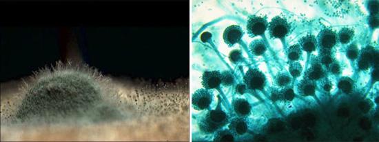 микроскопические грибки