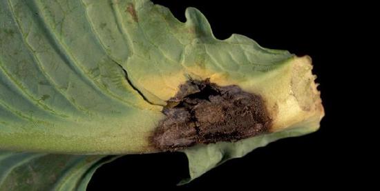 грибок на капусте