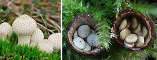 грибы лесные