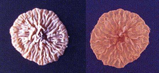 колонии грибка микроспорум