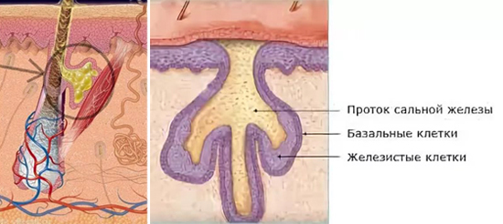 сальные железы фото