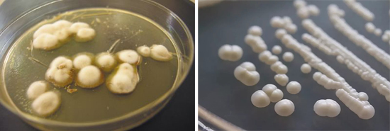 грибки трихофитон рубрум и кандида альбиканс
