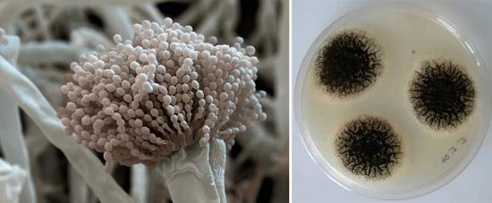 гриб аспергилл