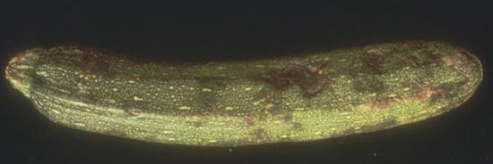 плесневой грибок на кабачке