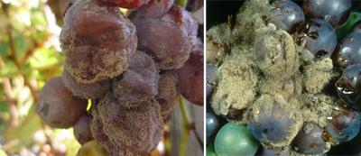 плесень на винограде