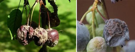 На фото Ботритис на ягодах