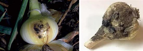 плесневые грибы на луке и чесноке