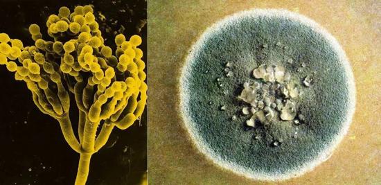 На фото гриб пеницилл