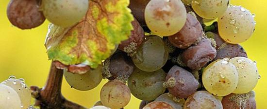 Ботритис на винограде