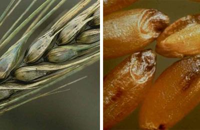 плесень на зернах