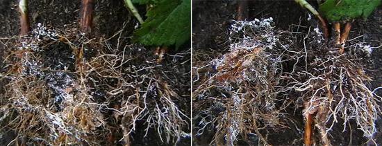 грибковое поражение корней растений