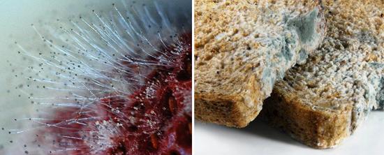 плесень на ягодах и хлебе