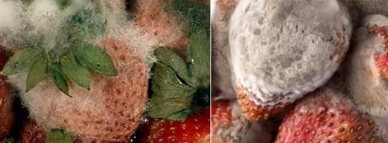 На фото плесень на ягодах