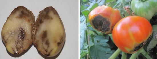 фитофтора на плодах