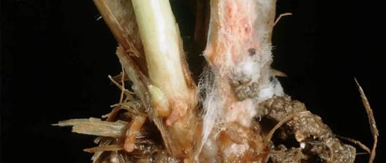 Плесневые грибки на корнях растений