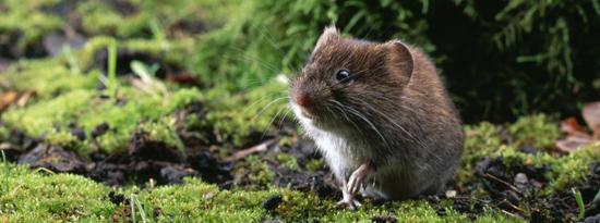 источник мышиной лихорадки