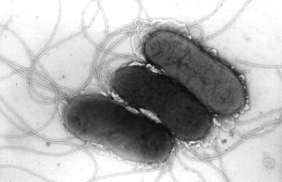 сальмонеллы под микроскопом