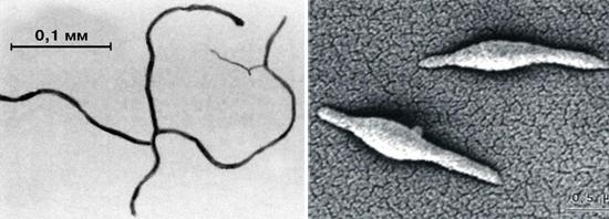 виды микоплазм