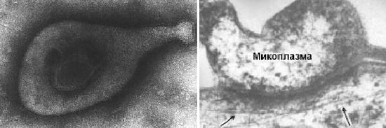 микоплазма