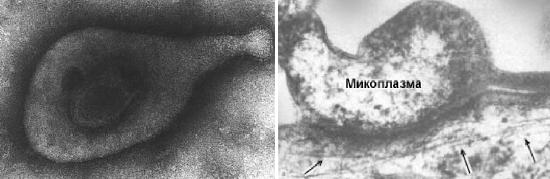 возбудитель микоплазмоза
