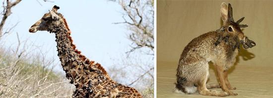 Вирус папилломы у животных