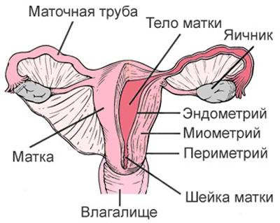 женские половые органы (схема)
